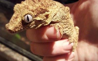 Hudson our gargoyle gecko