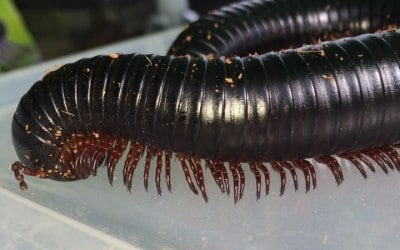 Milli the millipede