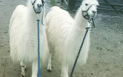 Our Llamas, Lawerence and Dave