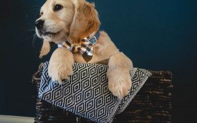 Pet & Puppy Portraits - Arlo